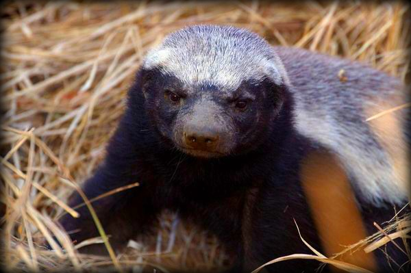honeybadger don't give a shit